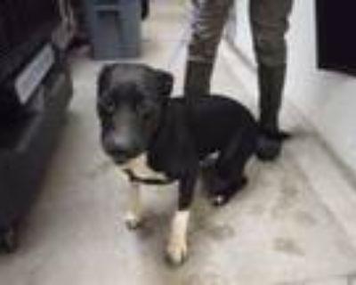 Adopt A591459 a Labrador Retriever, Border Collie