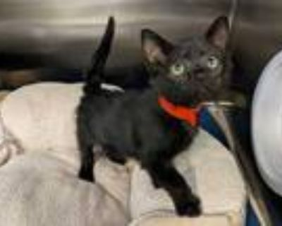 Adopt CLOVER a All Black Domestic Shorthair / Mixed (short coat) cat in Fremont