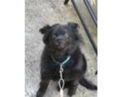 Adopt Prince a Black Pomeranian / Mixed dog in Morrow, GA (31062444)