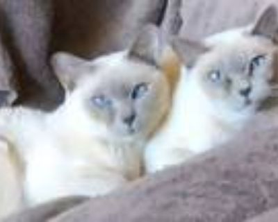 Adopt Dickens & Ivy a Tonkinese