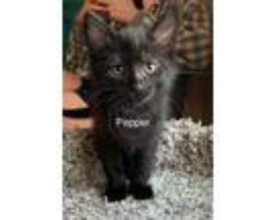 Adopt Pepper a Black (Mostly) Domestic Shorthair (short coat) cat in Mansfield