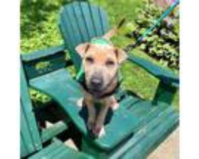 Adopt Mad Max a Tan/Yellow/Fawn Shar Pei / Mixed dog in Argyle, NY (31945666)
