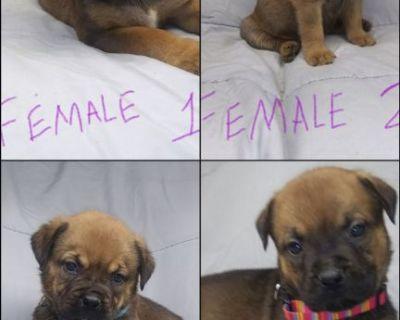 mastiff rottweiller puppies