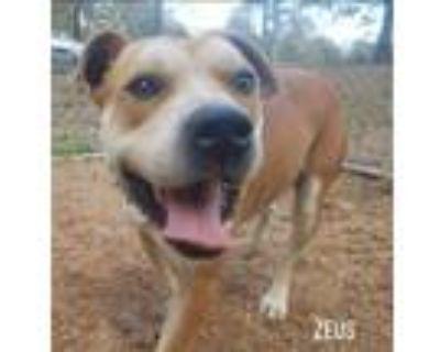 Adopt Zeus a Cane Corso / American Staffordshire Terrier / Mixed dog in El