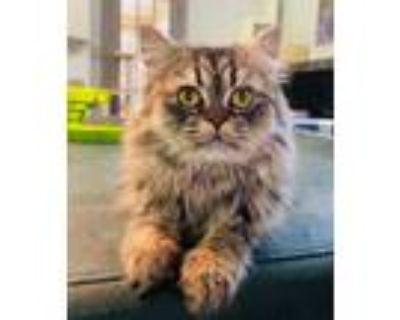 Adopt Romeo a Brown Tabby Persian (medium coat) cat in Fairfax, VA (32131745)