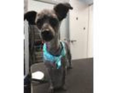 Adopt Snickers a Black - with Gray or Silver Poodle (Standard) dog in Rancho
