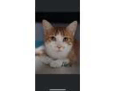 Adopt Alice a Orange or Red (Mostly) Domestic Shorthair / Mixed (short coat) cat