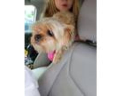 Adopt MAMASH a Yorkshire Terrier, Mixed Breed