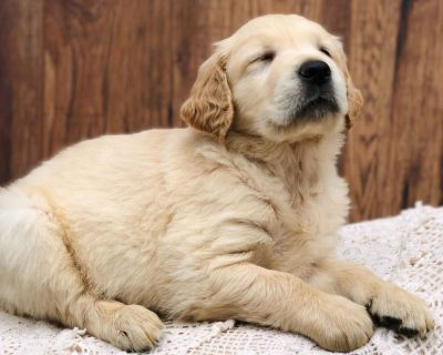 Golden Retriever Puppies from line of Service Dogs