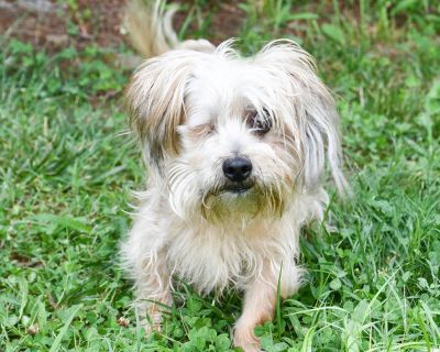 Marcel 11073 - Terrier, Yorkshire, Yorkie/Mix - Adult Male