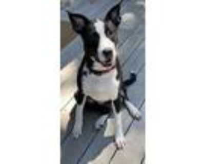 Adopt Merry Mistlepaws a Black - with White American Staffordshire Terrier /