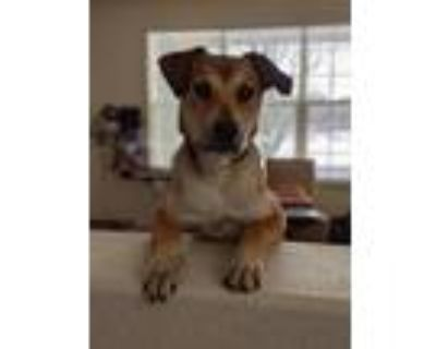 Adopt Cooper a Anatolian Shepherd / Mixed dog in Littleton, CO (29579917)