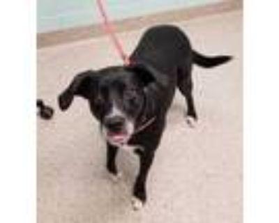 Adopt Mia a Black Labrador Retriever / Mixed dog in Noblesville, IN (32052514)