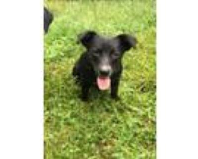 Adopt Rocky a Hound, Labrador Retriever