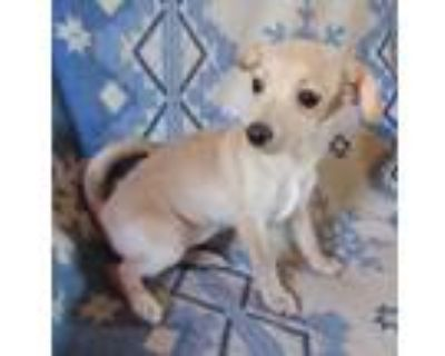 Adopt Beany of the Coffee puppies a Tan/Yellow/Fawn Dachshund / Poodle