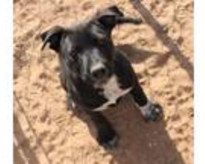 Adopt Silly a Black Labrador Retriever / Mixed dog in Apple Valley