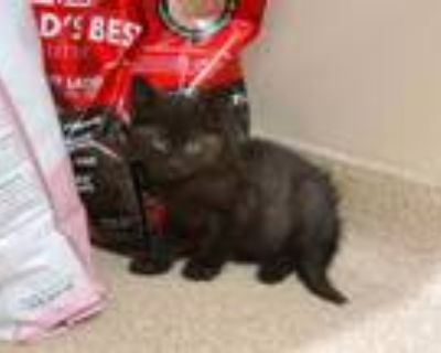 Adopt Orion a Domestic Short Hair