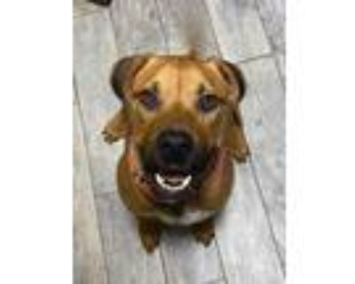 Adopt Scooby a Brown/Chocolate American Pit Bull Terrier / Mixed dog in Kansas
