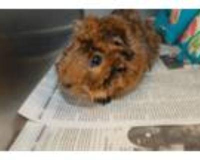 Adopt CHERRY a Guinea Pig