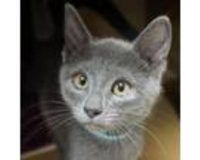 Adopt Betina -$50 a American Shorthair, Domestic Short Hair