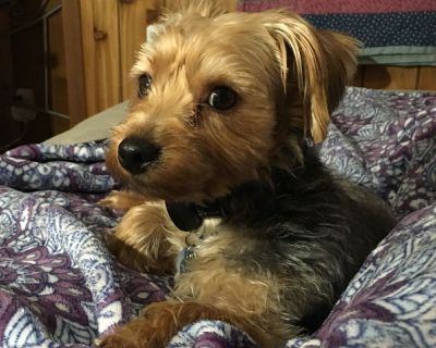 Yorkshire terrier 11 months old