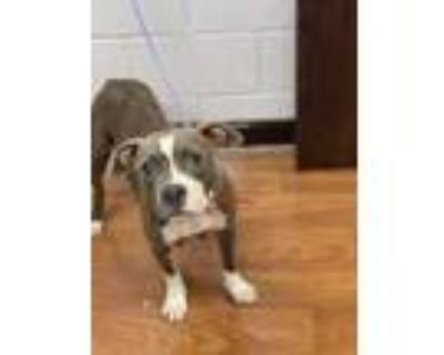Adopt 062221 a Gray/Blue/Silver/Salt & Pepper American Pit Bull Terrier / Mixed