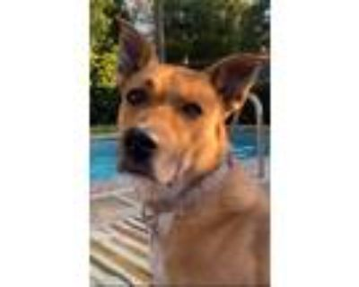 Adopt Lucy a Tan/Yellow/Fawn - with White Shepherd (Unknown Type) / Jindo /