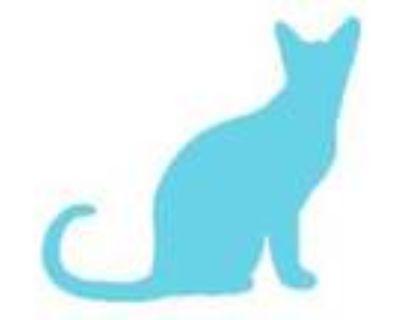 Adopt TJ a All Black Domestic Mediumhair / Mixed cat in Wichita, KS (32124428)