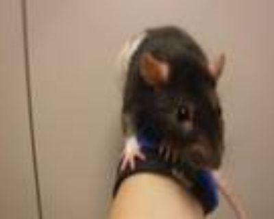 Adopt CLEM a Rat