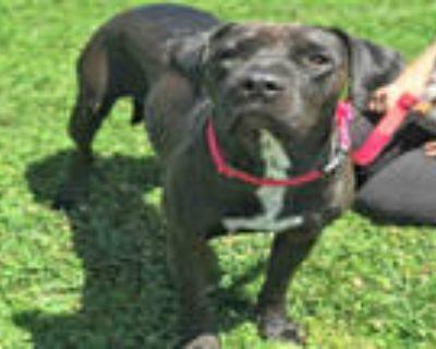 Adopt M'LADY a Black Labrador Retriever / Shar Pei / Mixed dog in Alameda