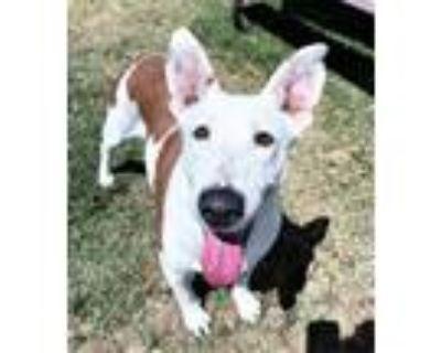 Adopt Hs244540/ Frenchy a Labrador Retriever, Shepherd