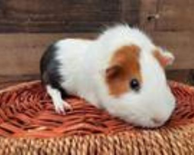 Adopt JACK a Black Guinea Pig / Mixed small animal in Van Nuys, CA (31641074)