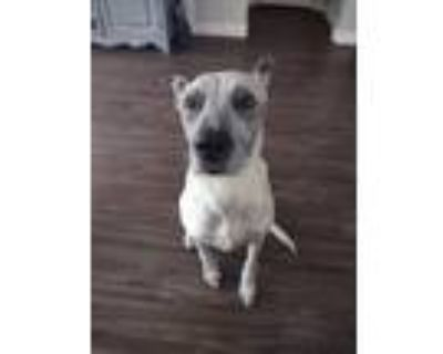 Adopt Payton a White - with Brown or Chocolate Australian Cattle Dog / Mixed dog