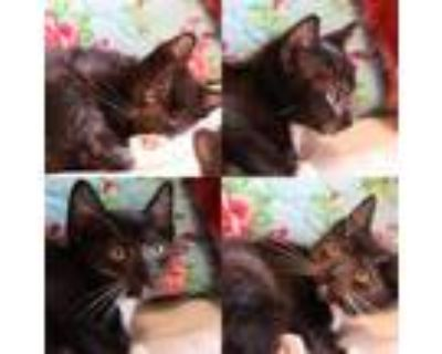 Adopt Felix The Cat a All Black Domestic Shorthair / Mixed cat in Houston