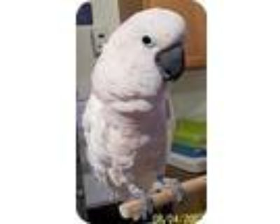 Molly 2, Cockatoo For Adoption In Northbrook, Illinois