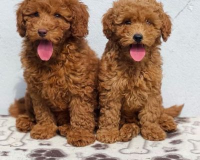 RED MINI GOLDEN DOODLE PUPPY FOR SALE