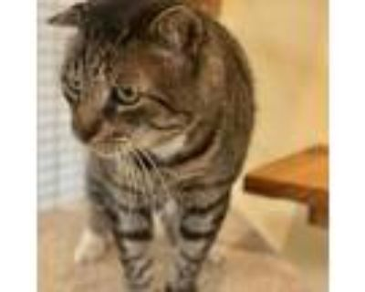 Adopt Mo a Gray or Blue Domestic Shorthair / Mixed cat in Folsom, LA (32001982)