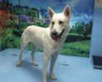 Adopt WONDER a White German Shepherd Dog / Mixed dog in Moreno Valley