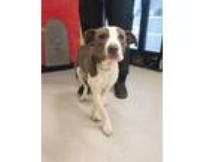 Adopt HILDY a Staffordshire Bull Terrier, Mixed Breed