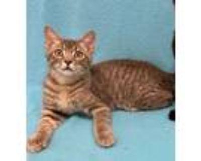 Adopt Greyde a American Shorthair