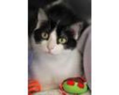 Adopt Fiona a All Black Domestic Shorthair / Domestic Shorthair / Mixed cat in