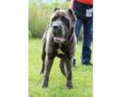 Adopt Blue Ivy a Gray/Blue/Silver/Salt & Pepper Cane Corso / Mixed dog in New