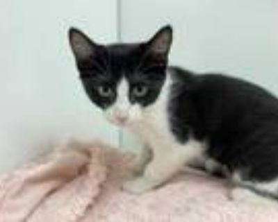Adopt Tuxedo a All Black Domestic Shorthair / Mixed cat in Boulder