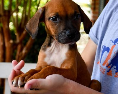 Paul - Terrier, Pit Bull/Mix - Puppy Male