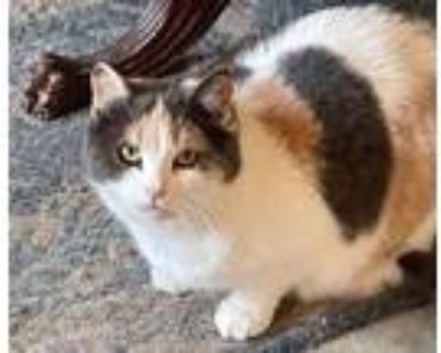 Adopt Lucy Lu a Domestic Short Hair, Calico