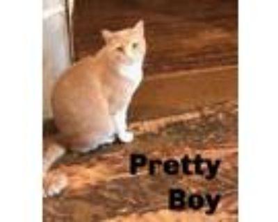 Adopt Pretty Boy and Runner a American Shorthair
