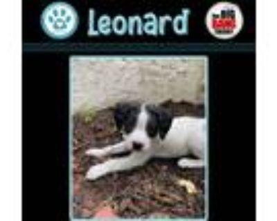 Adopt Leonard (Big Bang Theory Pup) a White - with Black Pointer dog in