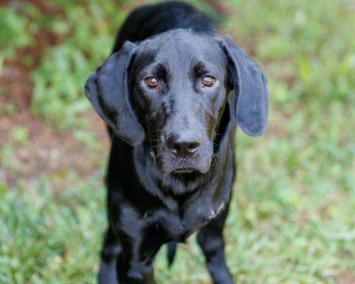 Roscoe 11098 - Retriever, Black Labrador/Mix - Puppy Male