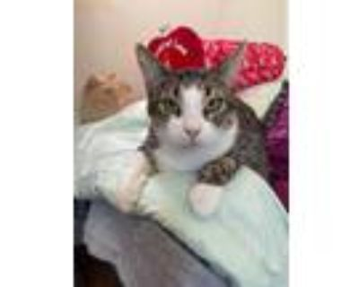 Adopt Nova a Brown Tabby Domestic Shorthair (short coat) cat in Midway City