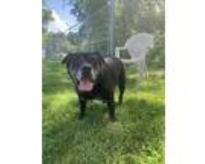 Adopt Feisty a Black Shar Pei / Mixed dog in Sterling Heights, MI (32012593)